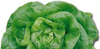 health benefits of lettuce for babies
