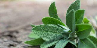 Health Benefits of Sage for Children