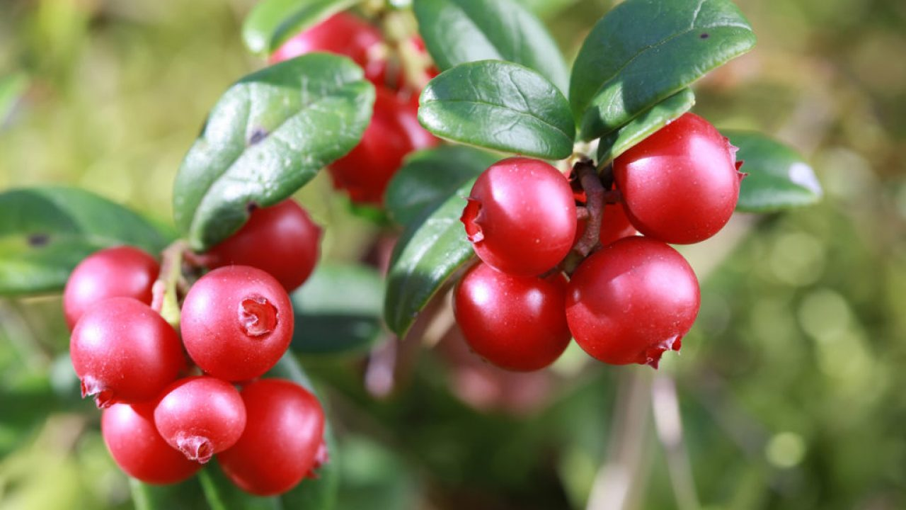 32 Must Know Surprising Health Benefits of Lingonberry