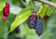 mulberries benefits
