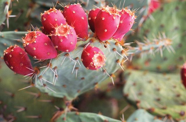 nopal cactus benefits
