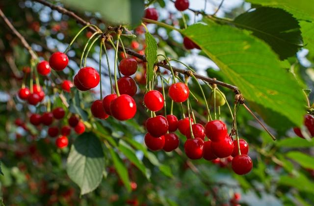 benefits of sour cherry juice