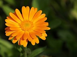 calendula during pregnancy