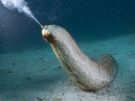 health benefits of Sea Cucumbers